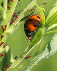 Clean Air Lawn Care Ladybug and Aphids