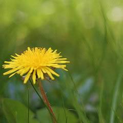 dandelion before organic weed control